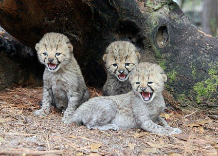 White Cheetah Cubs