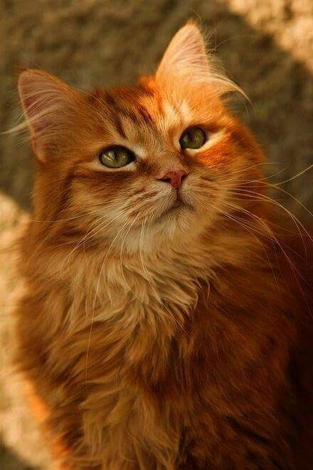Pin By Christel Lilyerd On Cats With Images Orange Tabby Cats Pretty Cats Cute Cats