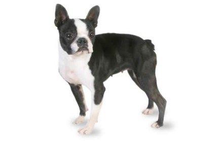 French Bulldog And Boston Terrier Dog Breed Comparison Boston