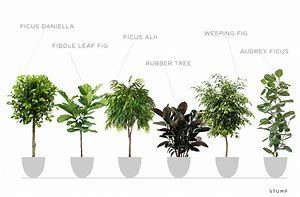Different Types Of Ficus Bing Images Indoor Fig Trees Ficus Plants