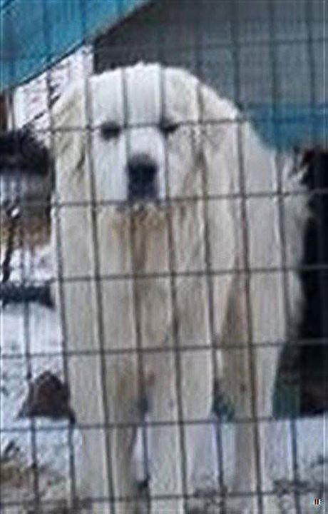 Is This Your Dog Hinckley Great Pyrenees Female Date Found