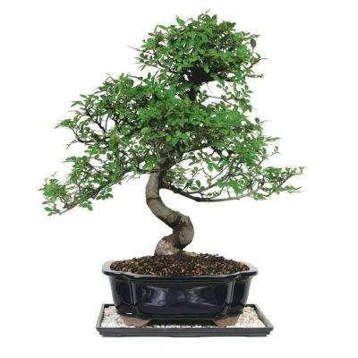 Indoor Plants Garden Plants Flowers The Home Depot Chinese Elm Tree Bonsai Tree Types Bonsai Tree