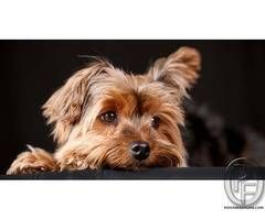 Yorkshire Terriers The Most Honest Dog Breed Review You Ll Ever Find About Yorkshire Terrier In Mumbai Maharashtr Dog Breeds Yorkshire Terrier Dogs