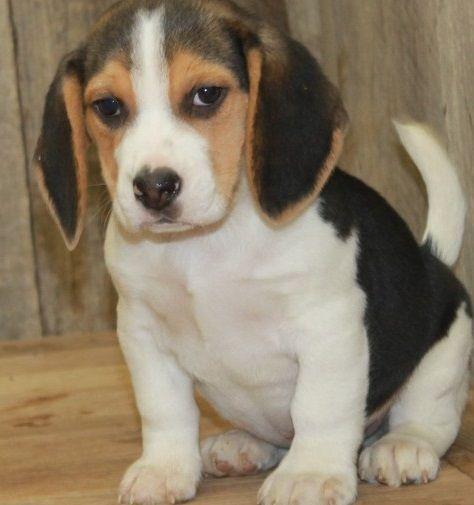 Beagle Puppies For Sale Saginaw Mi In 2020 Beagle Puppy Puppies