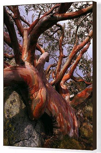 Print Of Snow Gum Eucalyptus Pauciflora Eucalyptus Pauciflora Australian Flowers Eucalyptus