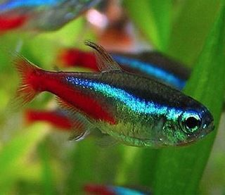 Neon Tetras Cardinal Tetras Tropical Fish Discusguy Beautiful Tropical Fish Tropical Fish Tropical Freshwater Fish