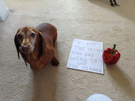 Dog shaming, Dachshund edition.