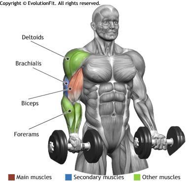 BICEPS - STANDING DUMBBELL BICEP CURL 肱二头肌-站二头肌哑铃。 起始位置 站起来 (直立位置) 把握每个手里的哑铃一双手手掌批转,略有 abs 和臀部和膝盖稍微弯曲的合同。 运动 弯曲的武器,直到哑铃碰肩。控件返回的阶段,直至武器充分伸展向下。 目标 这是和基本运动的二头肌,它开发的质量与体积的肌肉。 呼吸 呼吸武器拉伸时,在运动过程中呼出,直到手臂完全弯曲;返回。 小贴士 合同以稳定骨盆的臀大肌和 abs 和避免背动作,肘部和躯干对齐;膝关节弯曲,避免关节伸屈期间。工作总是对手臂动作的所有螺。 错误 避免在运动过程中领导倒着背,它可以帮助但它可以造成令人不快的挛缩的后面;不要动腿稍弯曲,它减少了行使的效力。