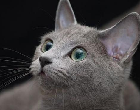 Russian Blue Russian Blue Cat Russian Blue Cat