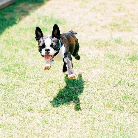 Boston Terrier Running With Images Boston Bull Terrier Boston