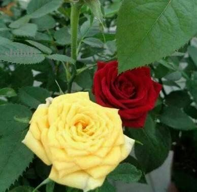 وردو صفراء و وردة حمراء ابداع القلم Amino Flowers Plants Rose