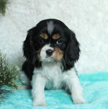 Cavalier King Charles Spaniel Puppy For Sale In Gap Pa Adn 54997 On Puppyf Spaniel Puppies For Sale King Charles Cavalier Spaniel Puppy Cavalier King Charles