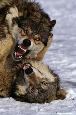 Wolves fighting....this is what my shepherds look like when they play fight.