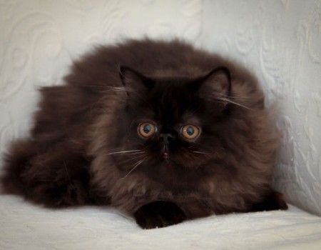 Cat Facts And Information About Himalayan Indian Cat Breed Himalayan Cat Cat Breeds Himalayan Kitten