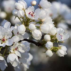 Billows Of Fluffy White Bradford Pear Blossoms By Kathy Clark Bradford Pear Tree Most Beautiful Flowers Pear Blossom