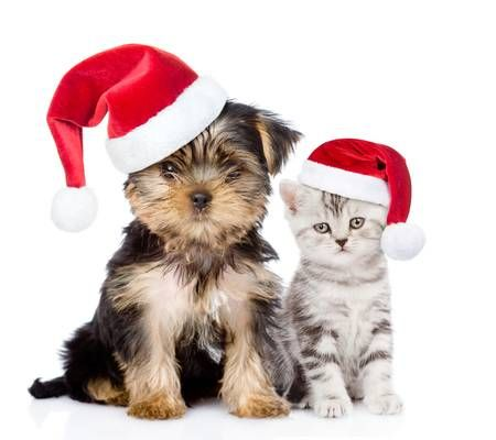 Little Kitten And Puppy In Red Christmas Hats Sitting Together In 2021 Cute Puppies And Kittens Kittens And Puppies Cute Cats And Kittens Christmas hd wallpaper puppies kitten