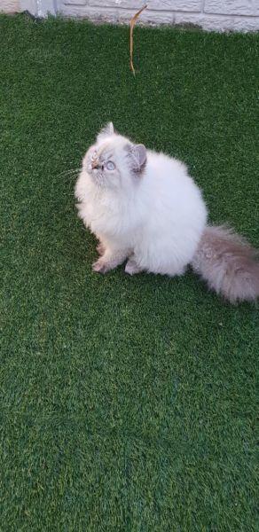 Female Persian Kitten Greyville Gumtree Classifieds South Africa 247650323 Persian Kittens Kitten For Sale Kittens