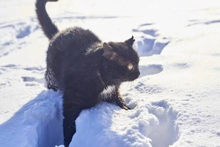 Funny Gray Tabby Cat With Yellow Eyes Walking On The Deep Snow Grey Tabby Cats Tabby Cat Tabby