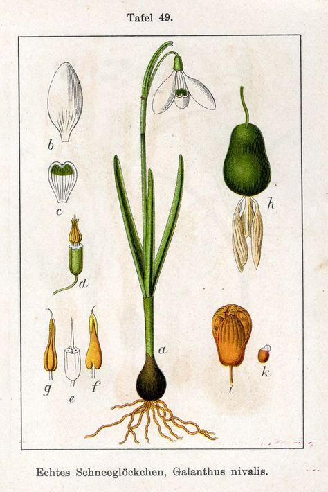 Deutschlands Flora In Abbildungen 1796 Botanische Zeichnungen Botanische Abbildungen Botanische Zeichnung