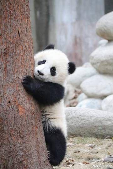 Giant Panda Meng Yu 5th Meng Giant Panda Panda Cute Panda Wallpaper
