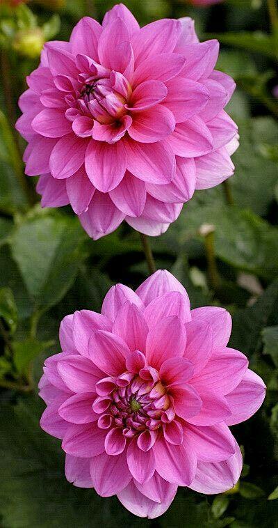 200 Ide Bunga Dahlia Terbaik Bunga Dahlia Bunga Gladioli