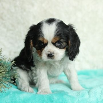 Cavalier King Charles Spaniel Puppy For Sale In Gap Pa Adn 64162 On Pu Cavalier King Charles Dog Spaniel Puppies For Sale King Charles Cavalier Spaniel Puppy