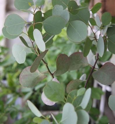 Eucalyptus Polyanthemos Silver Dollar In 2020 Silver Plant Eucalyptus Plant Leaves