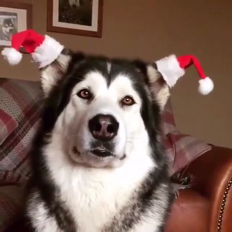Never too early to decorate for Christmas! 💁♀️🎄 #dogs #dog #animals #animal #pets #adorable #pet #puppy #photooftheday #puppies puppy, dogs, dog, pets, pet, puppie, adorable, animals, animal, puppies