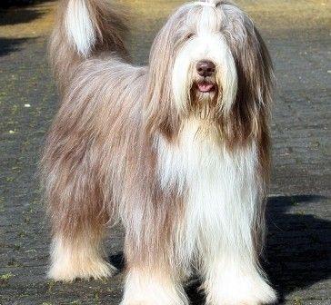 Looks Like My Nick Bearded Collie Bearded Collie Puppies Dog