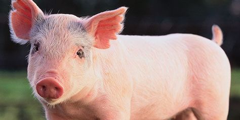 How cruel can it get - killing pet pigs now. Feral or pet in my  eyes a pig big or small that is raised within a family unit should not be taken and killed. It is ridiculous ! Pigs are known to be very clean animals, smarter than dogs and have even been known to save lives in house fires ! Stop covering up errors and work to ensure that killings like this don't happen again !  Michigan DNR: Stop Shooting Family Pet Pigs