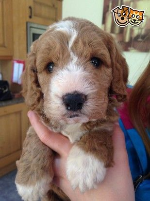 Clumber Spaniel X Miniature Poodle Puppy Doncaster South Yorkshire Pets4homes Miniature Poodle Puppy Poodle Puppy Clumber Spaniel