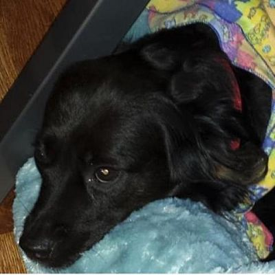 Asheville Nc Spaniel Unknown Type Meet Bree A Pet For