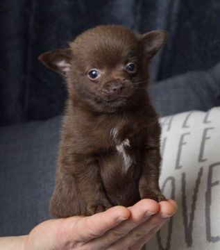 Chihuahua Puppy For Sale In Warsaw In Adn 70403 On Puppyfinder