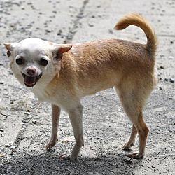 Pin By Ladybugsintheattic On Fur Feather Kids Pets Chihuahua