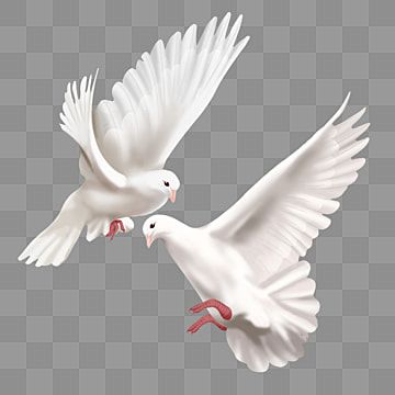 Two Realistic World Peace Doves Two Effect Pigeon Png Transparent Clipart Image And Psd File For Free Download Dove Drawing Love Background Images Peace Dove