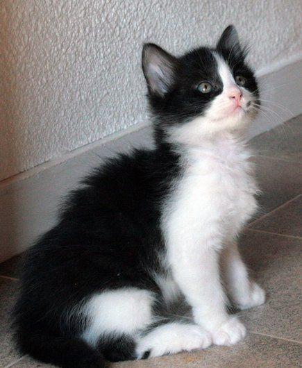 Apagi Pick Chat Europeen A La Robe Noir Et Blanc Chat Noir Et Blanc Chat Europeen Chat