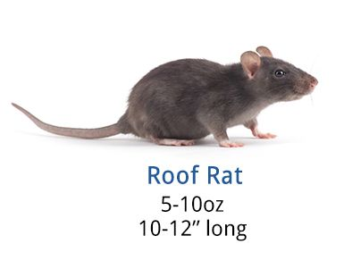 How To Get Rid Of Roof Rats Diy Roof Rat Control Guide Roof Rats Rat Control Getting Rid Of Rats