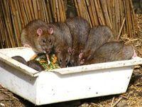 Como Acabar Con Las Ratas En El Jardin Veneno Casero Para Ratas Y Ratones Ratas Y Ratones Ratas
