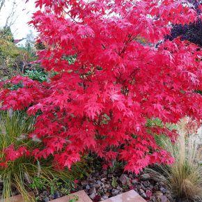 Klon Zwyczajny Royal Red 140 Cm Klon Drzewa Ozdobne Plants