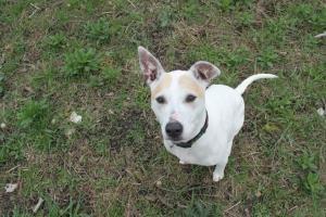 Adopt Pumpkin On Pitbull Terrier Bull Terrier Dog Bull Terrier Mix