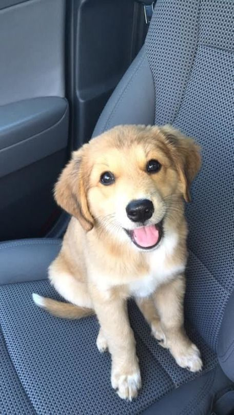 Golden Retriever German Shepherd And Australian Shepherd Mix
