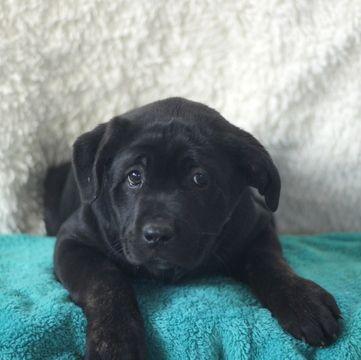 Cane Corso Puppy For Sale In Gap Pa Adn 70654 On Puppyfinder Com