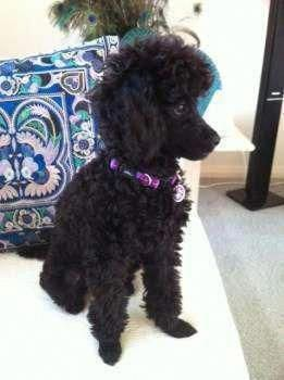 Outstanding French Poodle Pups Information Is Readily Available