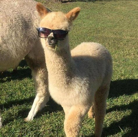 What do you know about alpacas? What do you know about alpacas in sunglasses? Cute Little Animals, Cute Funny Animals, Alpacas, Lama Animal, Cute Alpaca, Baby Alpaca, Alpaca Funny, Funny Llama, Llama Alpaca