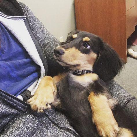 instagram: @murphydox Did you say...TREAT!? 🦴🍖 . . . #Rufithedachshund #beautiful #Loveher #littlebaby #teckel #wiener #dachshund #inlove #lovehertopieces #blackdachshund #dogsofinstagram #ohmydog #featuremydoxie #dogsofinstagram #puppy #puppydays #purelove #firstbirthday #baby #birthdaygirl #birthday