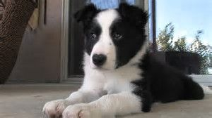 Great Pyrenees Border Collie Mix Puppies For Sale Zoe Fans Blog