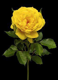 Nature Flower Rose Plant Yellow Beautiful Roses Flowers Rose