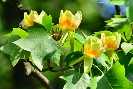 Tulip Poplar Poplar tree Growing tree and Fast growing