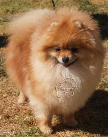 Pomeranian Watery Eyes Watery Eyes Pomeranian Dog Exercise