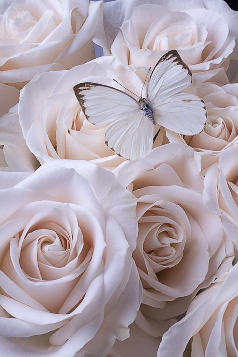 Beautiful Photograph - White Butterfly On White Roses by Garry Gay